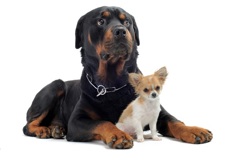 portrait of a purebred rottweiler and puppy chihuahua in front of white background photo