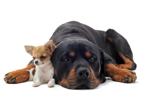 black dog: portrait of a purebred rottweiler and puppy chihuahua in front of white background