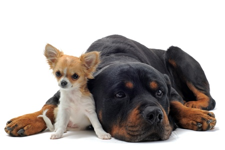 rottweiler: portrait of a purebred rottweiler and puppy chihuahua in front of white background