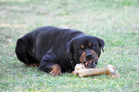 portrait of a angry purebred rottweiler with bone  photo