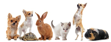puppy and kitten: group of pets in front of white background