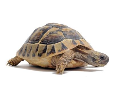 Testudo hermanni tortoiseon een witte geïsoleerde achtergrond Stockfoto