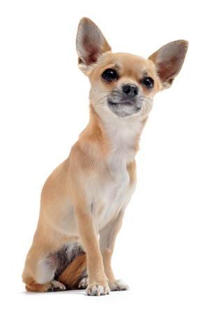 portrait of a cute purebred short hair chihuahua in front of white background photo