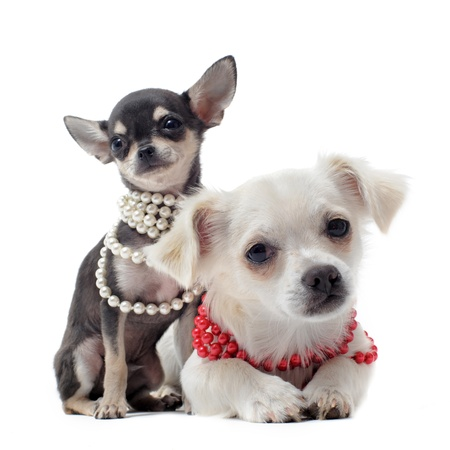 воротник: portrait of a cute purebred chihuahuas with pearl collar in front of white background Фото со стока