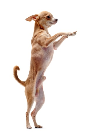 chihuahua dog: portrait of a cute purebred  chihuahua standing on his hind legs