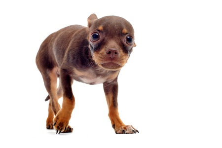 Scared chihuahua with his ears down on the white background in the studio Stock Photo