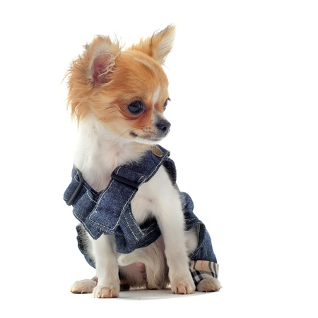 long hair chihuahua: puppy chihuahua dressed in front of white background