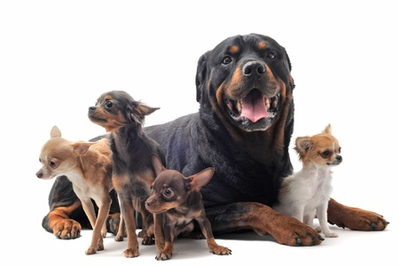portrait of a purebred rottweiler and  chihuahuas in front of white background photo