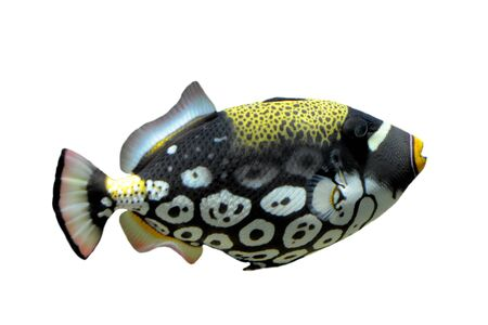 white  fish: Clown triggerfish - Balistoides conspicillum in front of a white background.