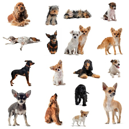 groupe of purebred little dogs in front of white background photo