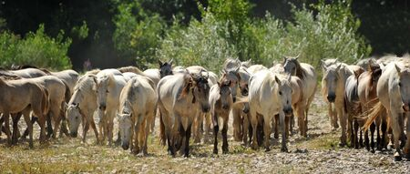 herd of Camargue horses and foal in a field photo