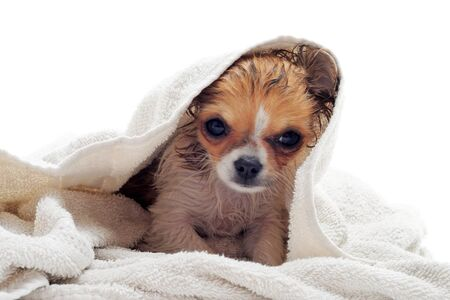 chihuahua pup: portrait of a wet purebred  puppy chihuahua in front of white background