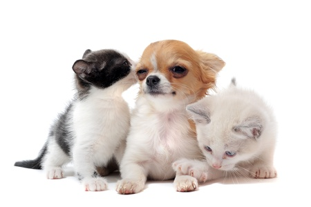 kittens: portrait of a cute purebred  puppy chihuahua and  kitten in front of white background Stock Photo