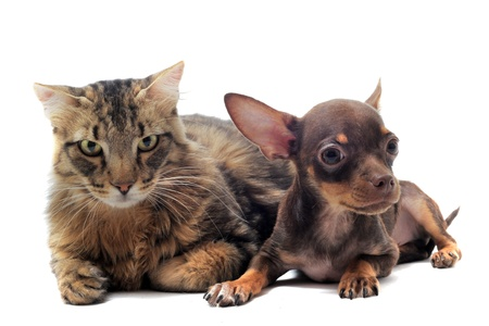 portrait of a cute purebred  puppy chihuahua and norwegian cat in front of white background photo