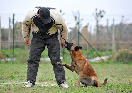 belgian sheepdog malinoisl in a competition of ring photo