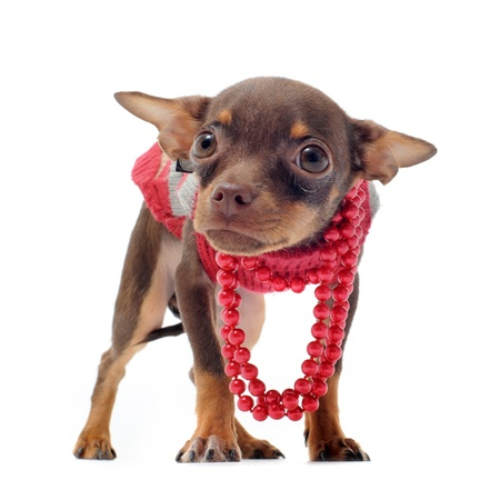 ridiculous: portrait of a sad purebred chihuahua with pearl collar in front of white background