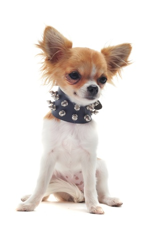spiked: portrait of a cute purebred chihuahua with studded collar in front of white background