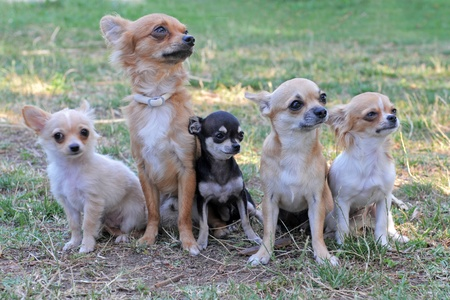 five purebred chihuahuas sitting in a grass photo