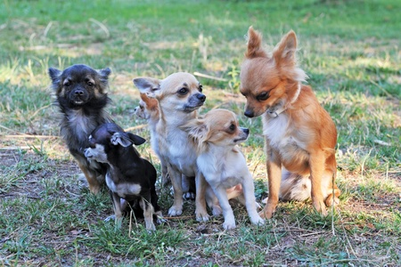 group of chihuahua sitting in a garden photo