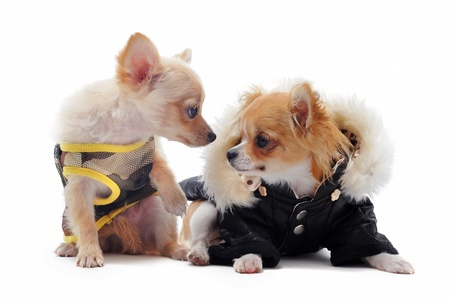 short hair dog: two puppies chihuahua dressed in front of white background Stock Photo