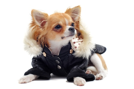 long hair chihuahua: purebred chihuahua dressed in front of white background