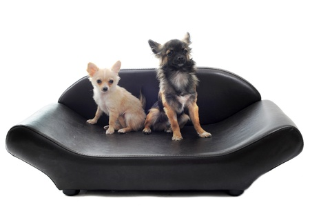 two chihuahuas on a sofa in front of white background photo