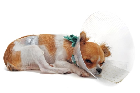 sterilization: a chihuahua wearing a protective veterinary collar after a surgical operation Stock Photo