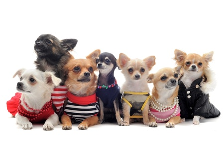 pet grooming: group of chihuahua dressed in front of white background