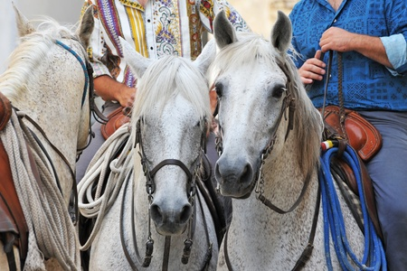 gardian: three camargue horses with gauchos in Arles, Languedoc Roussillon, France