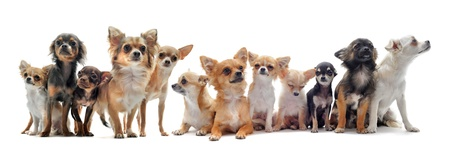 short hair dog: group of chihuahua  in front of white background