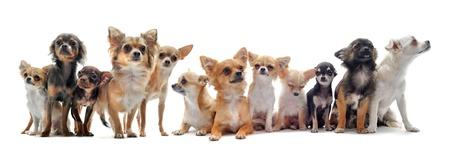 cane chihuahua: gruppo di chihuahua di fronte a sfondo bianco