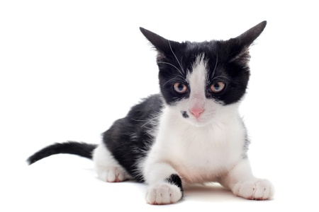 young black and  white kitten in front of white background