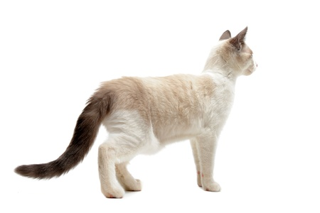 cat walk: back view of  purebred siamese kitten in front of white background