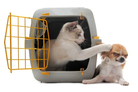 cat carrier: cat closed inside pet carrierplaying with a chihuahua isolated on white background