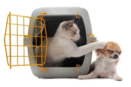 chat enfermé dans carrierplaying animal de compagnie avec un chihuahua isolé sur fond blanc