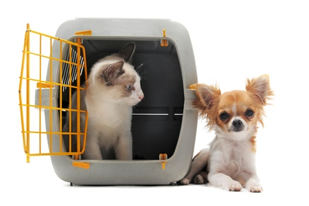 cat closed inside pet carrier and chihuahua isolated on white background