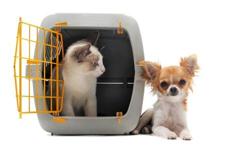gabbie: gatto chiuso dentro il trasportino e chihuahua isolato su sfondo bianco Archivio Fotografico