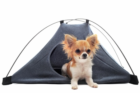 portrait of a cute purebred  puppy chihuahua in a tent in front of white background photo
