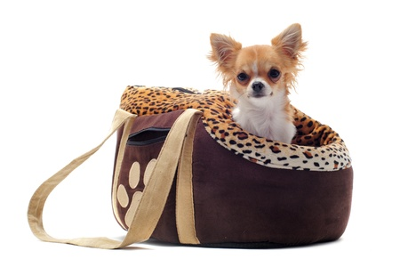 chihuahua puppy: travel bag with chihuahua in front of white background