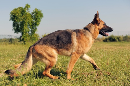 portrait of a  purebred german shepherd walking in a field photo