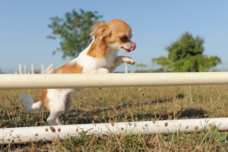 agility dog: portrait of a jumping purebred  puppy chihuahua