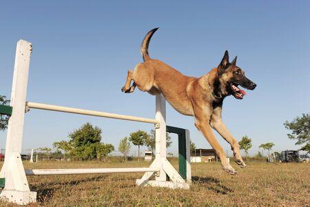agility dog:  purebred belgian sheepdog malinois in a training of agility