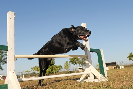 purebred old labrador retriever jumping in a training of agility photo