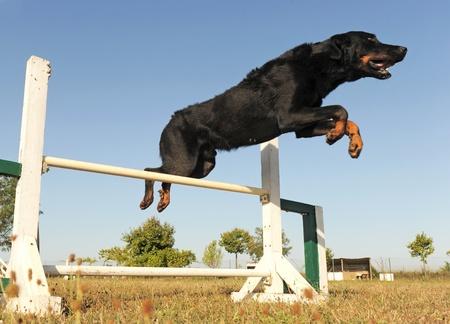 obediencia: saltos de pura raza pastor francés en un cielo azul