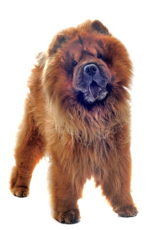 chow: chow-chow in front of a white background Stock Photo