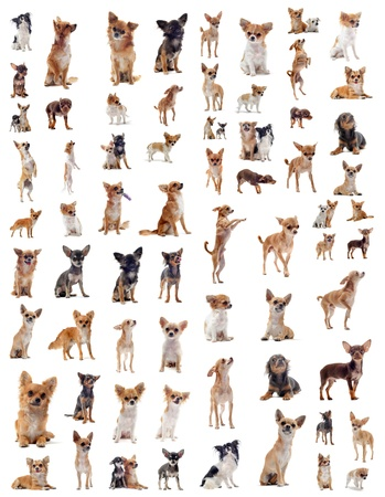 long hair chihuahua: portrait of a many purebred  chihuahuas in front of white background