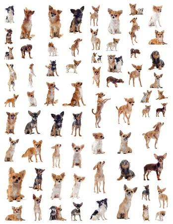 cane chihuahua: ritratto di un chihuahua di razza molti di fronte a sfondo bianco