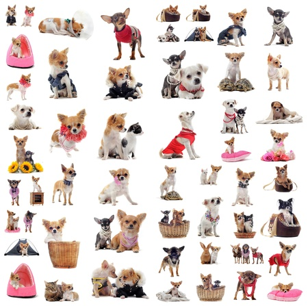 perros vestidos: Grupo de chihuahua en situaci�n de fondo blanco