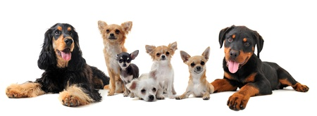 long hair chihuahua: group of puppies  in front of white background