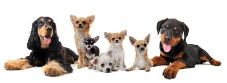 cane chihuahua: gruppo di cuccioli di fronte a sfondo bianco